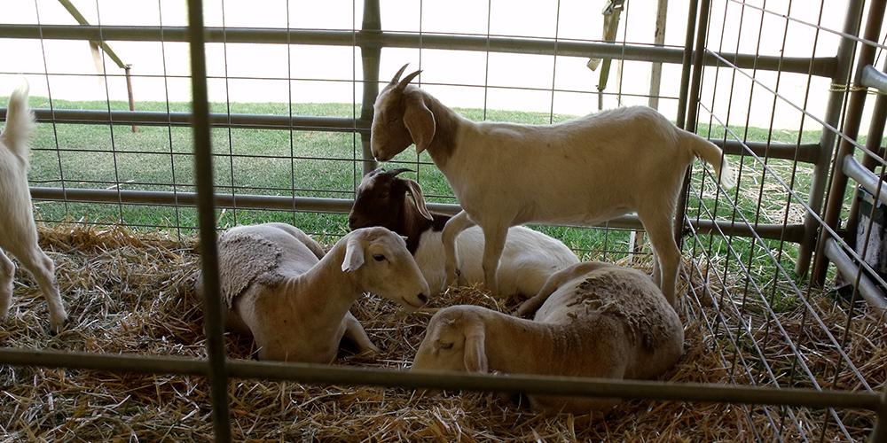mf-goat